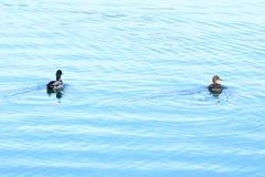 Anatre selvatiche sul lago Immagini Stock