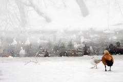 Anatre selvatiche sul paesaggio congelato del lago di inverno della neve. Fotografia Stock