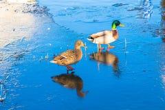 Anatre selvatiche, vapore, anatra e maschio, passeggiata su ghiaccio sottile Fotografia Stock