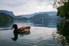 Anatre sopra il lago sanguinato tranquillo fotografia stock libera da diritti