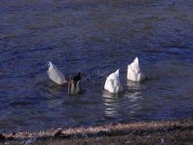 Anatre sotto acqua Fotografia Stock