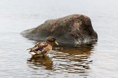 Anatre su acqua nello stagno del parco della città Fotografie Stock