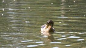 Anatre su acqua nello stagno del parco della città Le anatre stanno nuotando in uno stagno in un parco della città nuotata delle  Fotografia Stock