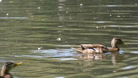 Anatre su acqua nello stagno del parco della città Le anatre stanno nuotando in uno stagno in un parco della città nuotata delle  Fotografie Stock