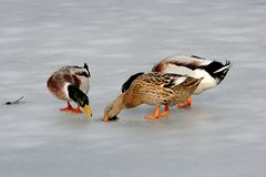 Anatre su ghiaccio Fotografia Stock Libera da Diritti