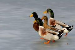 Anatre su ghiaccio Fotografie Stock