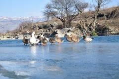 Anatre su ghiaccio Fotografie Stock Libere da Diritti
