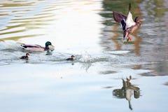 Anatre su un lago Immagini Stock Libere da Diritti