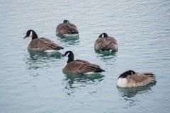 Anatre su un lago Immagini Stock