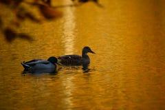 Anatre su uno stagno dorato Fotografie Stock
