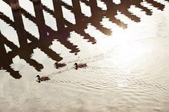 Anatre sul fiume la Moldava Immagine Stock Libera da Diritti