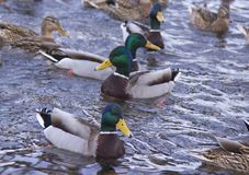 Anatre sul fiume fotografie stock libere da diritti