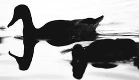 Anatre sul lago fotografia stock libera da diritti