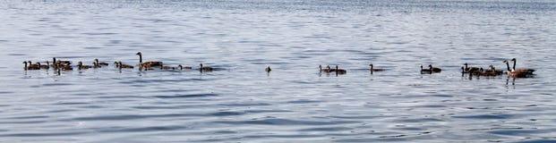 Anatre sul lago Fotografia Stock