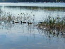 Anatre sul lago Immagine Stock Libera da Diritti