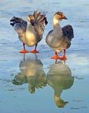 Anatre sul lago congelato fotografia stock