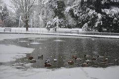 Anatre sul lago congelato nei giardini di Jephson, stazione termale di Leamington, Regno Unito - 10 dicembre 2017 Fotografia Stock