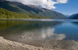 Anatre sul lago pacifico fotografia stock libera da diritti