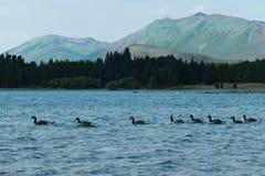 Anatre sul lago Tekapo, Nuova Zelanda immagine stock libera da diritti
