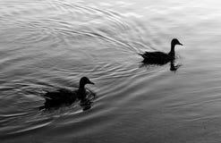 Anatre sull'acqua Fotografia Stock