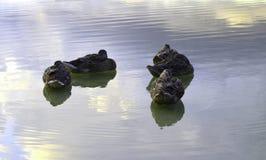 Anatre sull'acqua Fotografie Stock