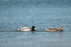 2 anatre sull'acqua Fotografia Stock