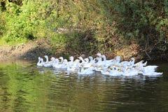 Anatre sull'acqua del lago Immagini Stock Libere da Diritti