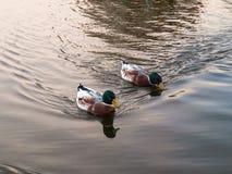 Anatre sull'acqua del lago Fotografie Stock Libere da Diritti