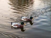 Anatre sull'acqua del lago Immagine Stock