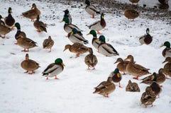Anatre sulla neve immagini stock libere da diritti