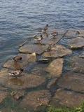Anatre sulle rocce Fotografie Stock