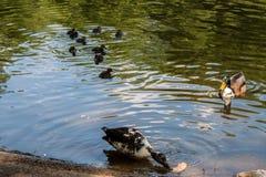Anatre sveglie che godono sul lago immagini stock libere da diritti