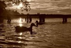 Anatre in un'acqua Fotografia Stock Libera da Diritti