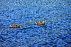 Anatre in un fiume. Immagini Stock