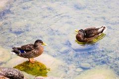 Anatre in un lago Fotografia Stock