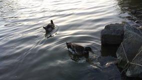 Anatre in un lago Fotografie Stock