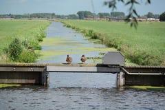 Anatre in un landscapr olandese Fotografia Stock