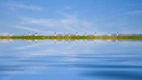 Anatre in una fila Fotografia Stock