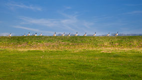 Anatre in una fila Fotografie Stock