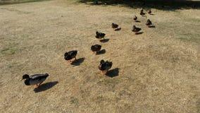 Anatre in una fila Immagini Stock