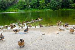 Anatre in una fila ad un parco Immagini Stock Libere da Diritti