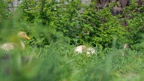 Anatroccoli che camminano attraverso l'acqua potabile dell'erba, giorno soleggiato dell'erba di cibo del gioco che prende il sole video d archivio