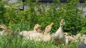 Anatroccoli che camminano attraverso l'acqua potabile dell'erba, giorno soleggiato dell'erba di cibo del gioco che prende il sole stock footage