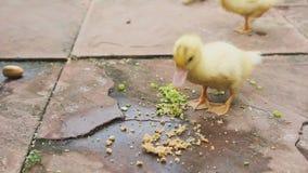 Anatroccoli che mangiano alimento stock footage