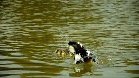 Anatroccoli che nuotano nel lago stock footage