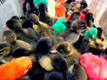 Anatroccoli e pulcini artificialmente colorati Fotografia Stock Libera da Diritti