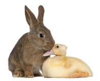 Anatroccolo di fiuto del coniglio Fotografia Stock
