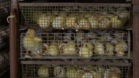 Anatroccolo difettoso fra le coperture dell'uovo nella gabbia stock footage