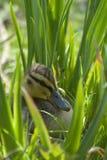 Anatroccolo nell'erba fotografie stock