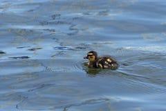 Anatroccolo sveglio di Mallard del bambino che nuota da solo in un lago Fotografia Stock Libera da Diritti